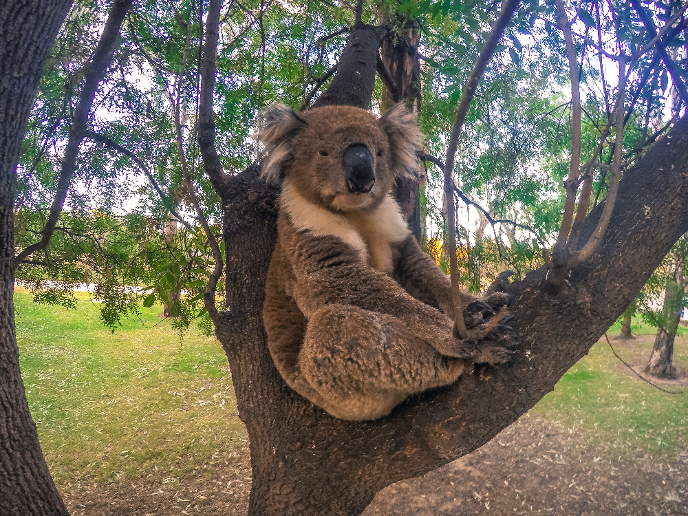 Koala Thomson beach
